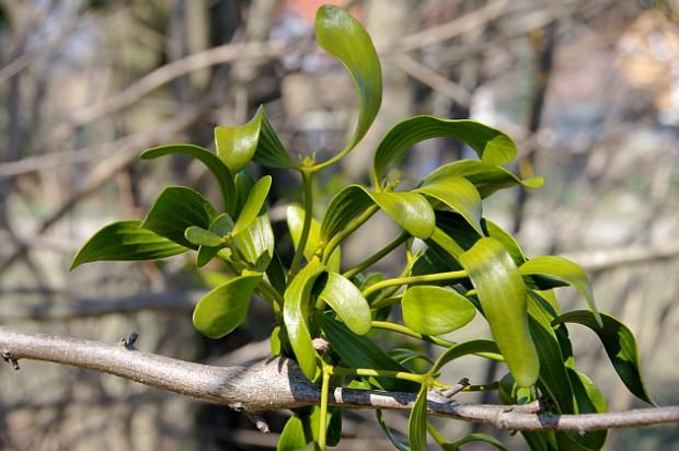 Mistel - mistletoe 15