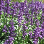 Zalfija-Salvia-officinalis-seme-_slika_O_10343733