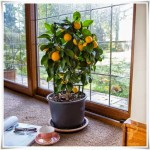 espalier-lemon-tree-gift