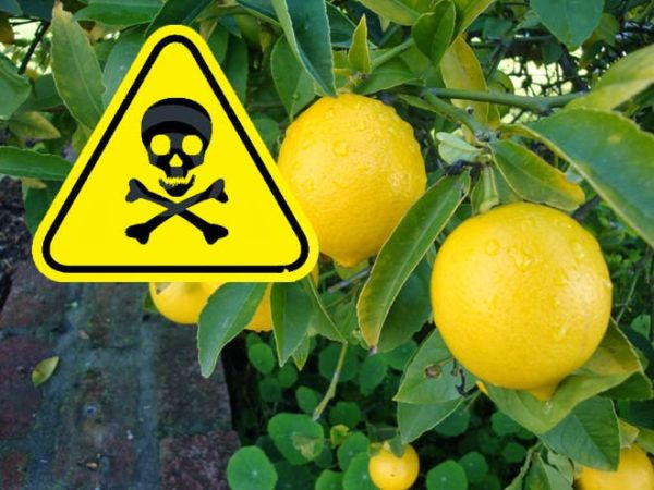 lemon-tree-danger3
