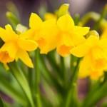 žuti-narcis
