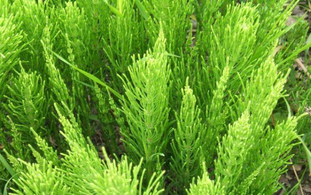 Equisetum_arvense_foliage-660x413