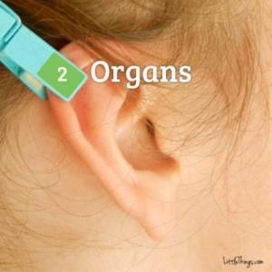 uho-stipaljica-3