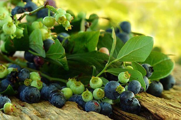 borovnica-grančica-pixabay
