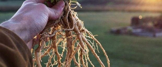 korijen-maslačak