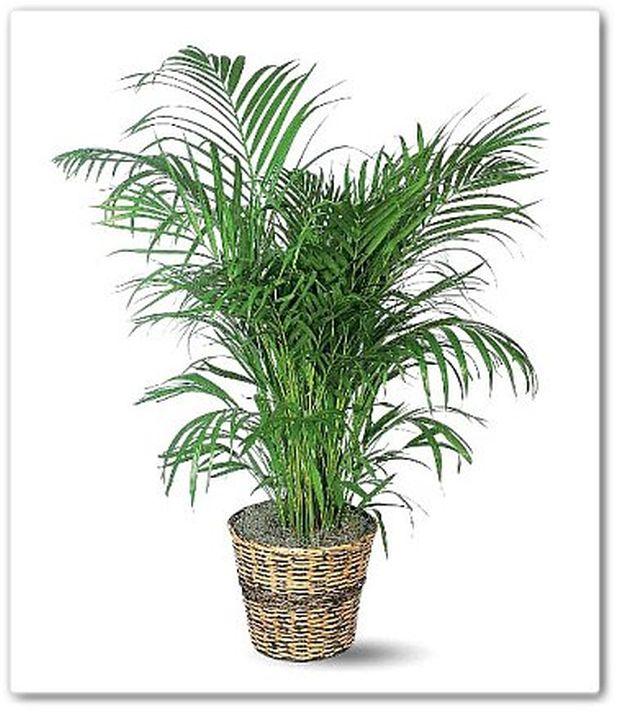 bambus-palma