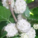 bijeli-dud