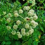 biljka-arhangela