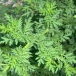 ČUDO IZ PRIRODE: Ovo je biljka koja liječi rak!