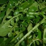 Liječi sve, od srca do slabe kose: Ova biljka sadrži više željeza nego špinat i više vitamina C od nekih agruma!