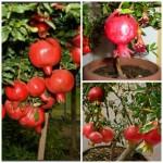 UZGOJ NARA IZ SJEMENKE: Imajte svoju egzotičnu biljku kod kuće!