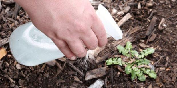 biljke-ocat