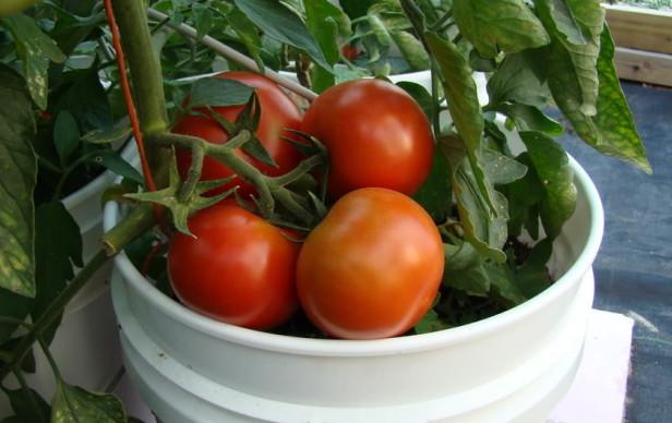 paradajz-2