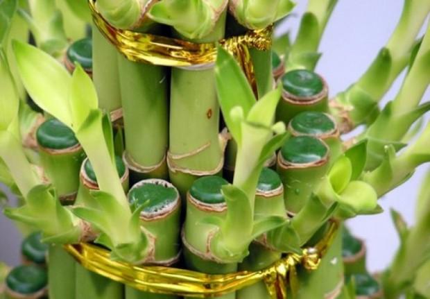 bam-biljka