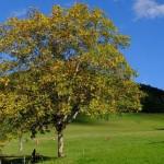 drvo-orah