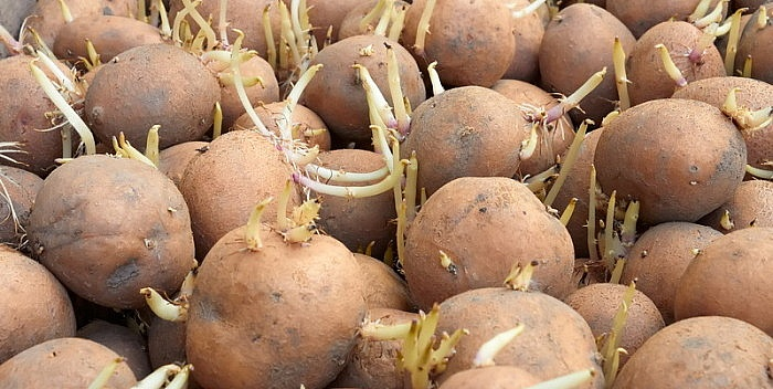 krompir-proklijao-700x352