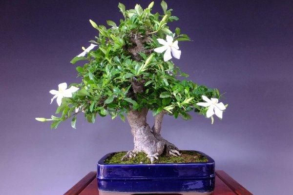 jasmin-cvijece