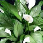 zenska-biljka