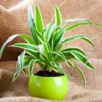 sobne-biljke-1