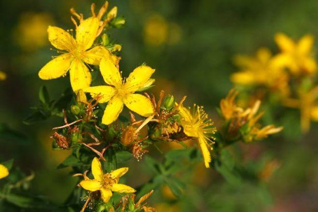 kantarion-biljka