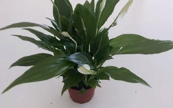 biljka-udaja