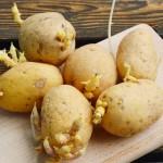 proklijali-krompir