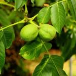 walnut-tree-3584209_1280