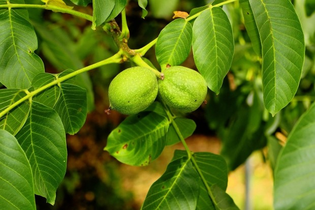walnut-tree-3584209_1280