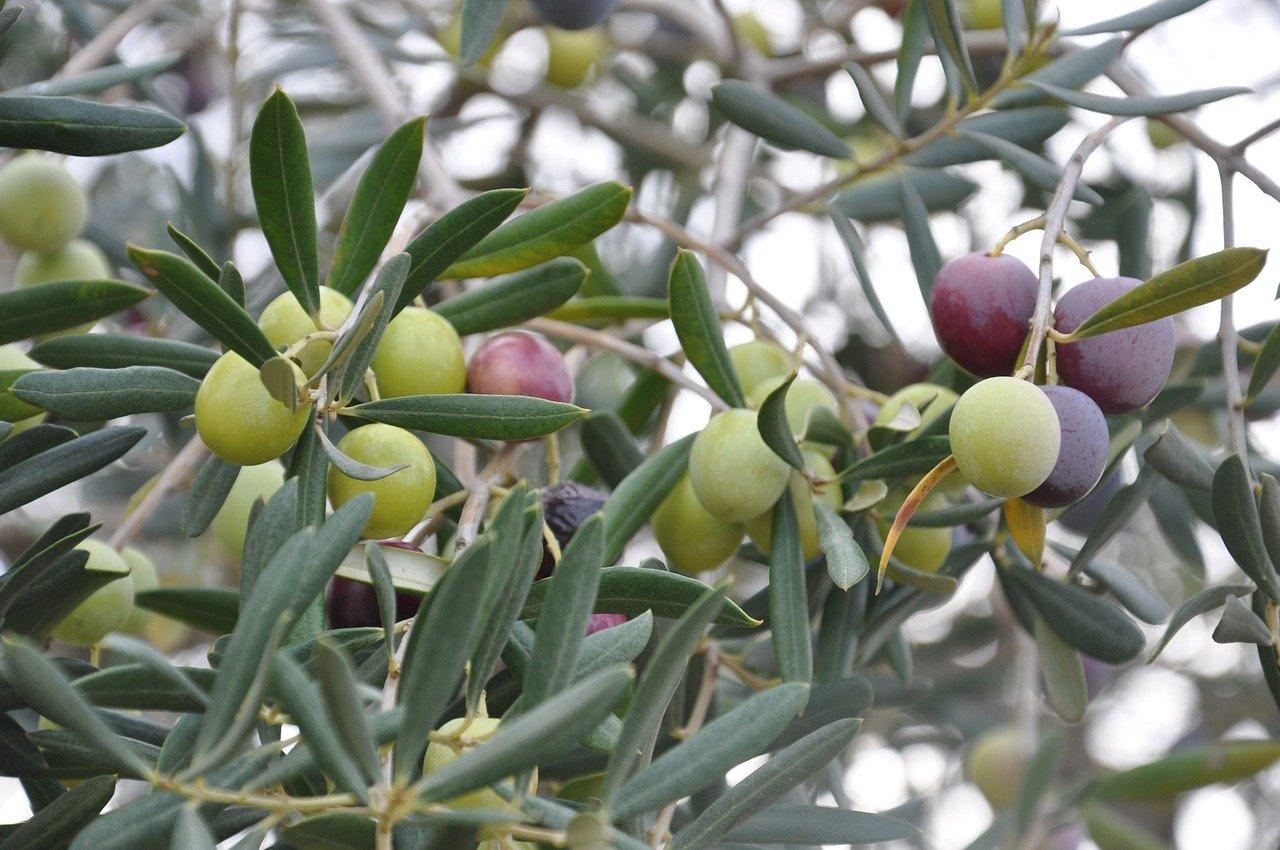 olives-5235252_1280