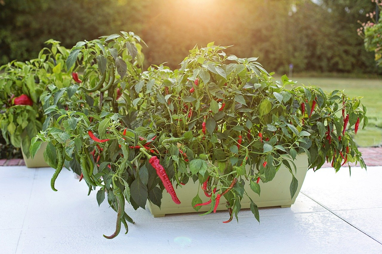 hot-peppers-2708677_1280