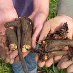 maslacka korijen