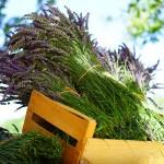 lavender-1595605_1280