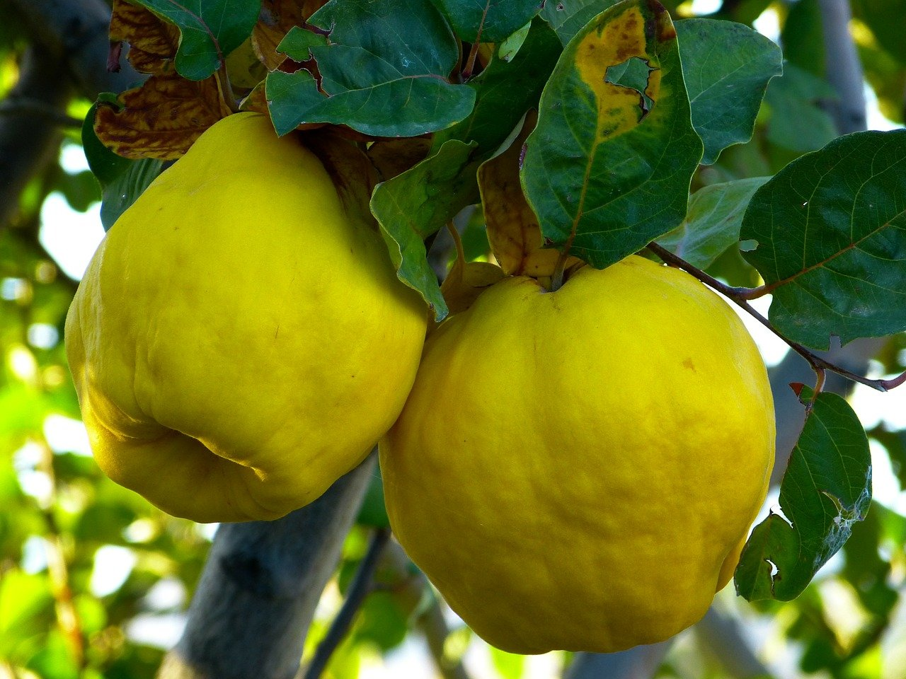 quince-65185_1280