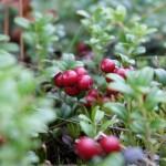 berry-4560704_1280