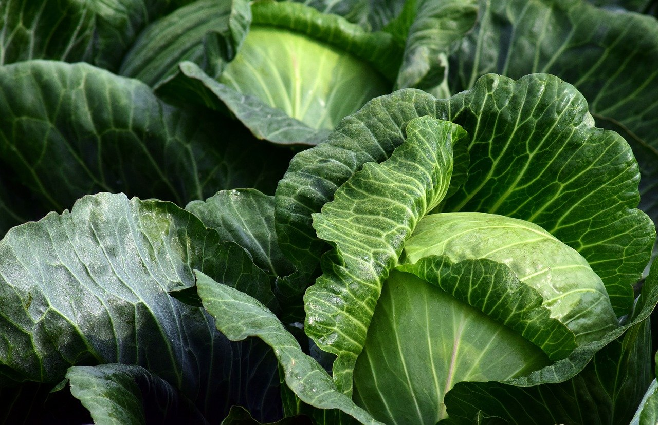 white-cabbage-2747316_1280
