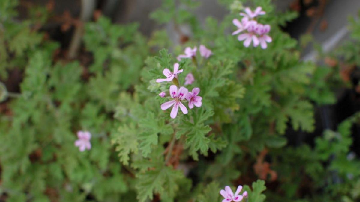 Samonikla biljka čiji se miris dugo pamti: Ublažava stres, nervozu napetost i umor